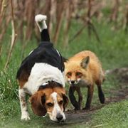 Beagle a caccia