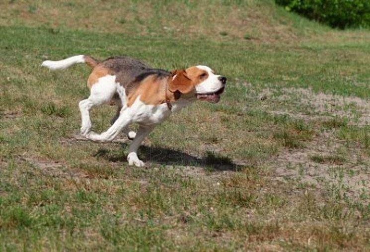 Corsa del beagle