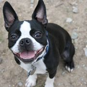Boston terrier adulto