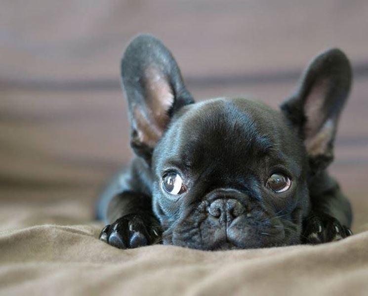 bulldog francese nero