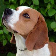 beagle primo piano