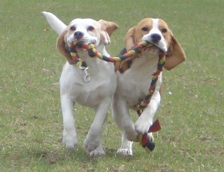 beagle che giocano