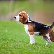 Esemplare di beagle