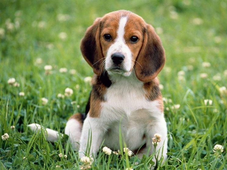 Cucciolo di beagle in posa