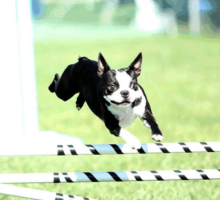 Il boston terrier viene utilizzato per l'agility