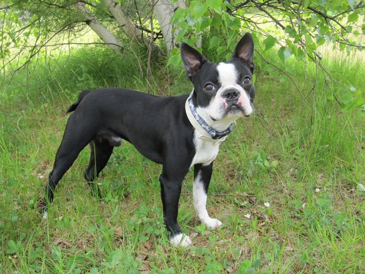 Esemplare di boston terrier