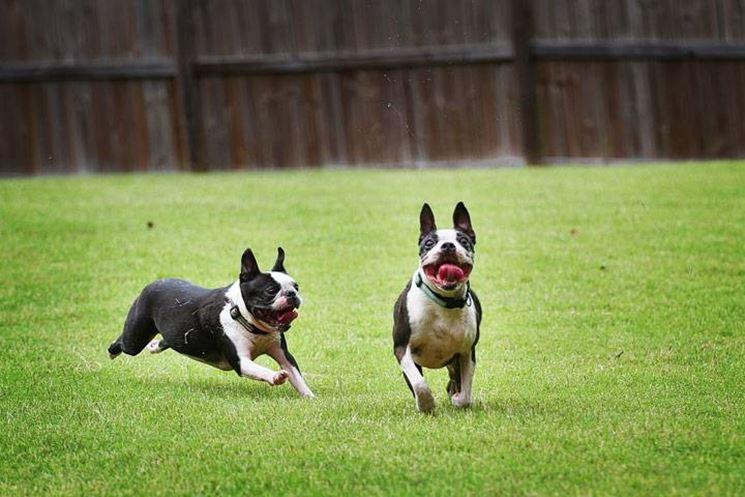 Il boston terrier ha bisogno di un'attività fisica quotidiana