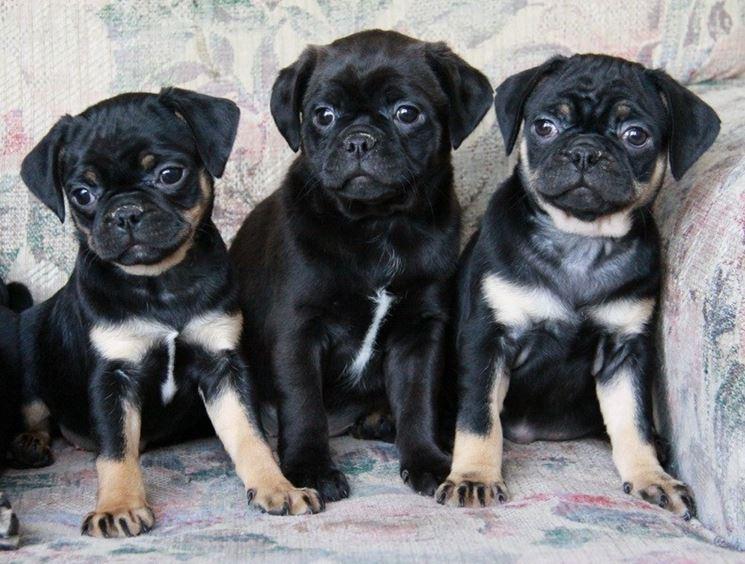 Cuccioli di boston terrier