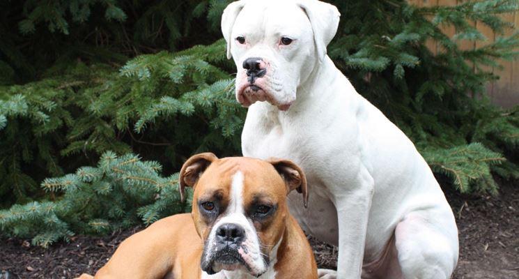 Boxer bianco e fulvo