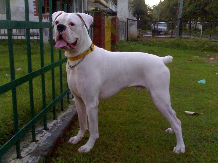 Boxer maschio bianco