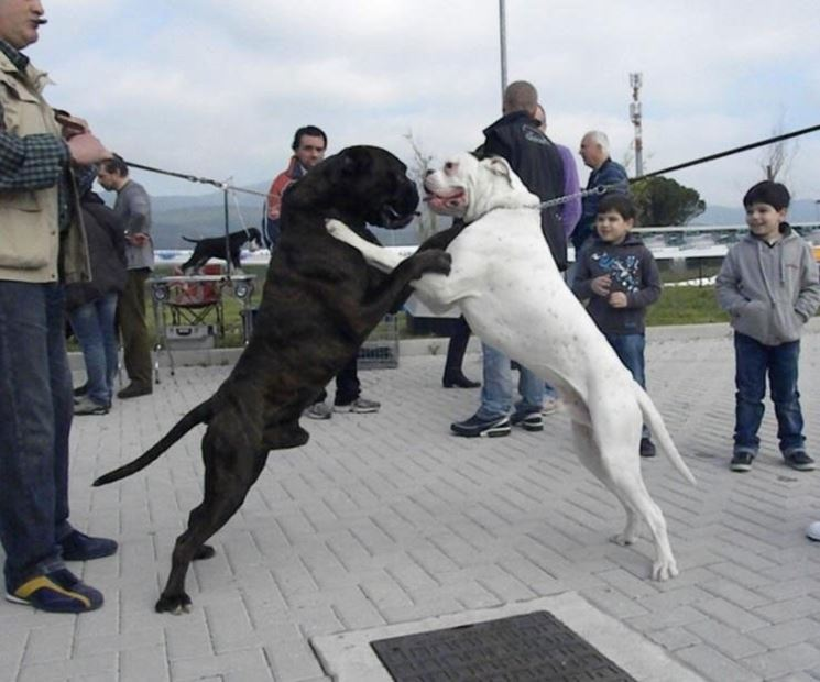 Due esemplari di boxer