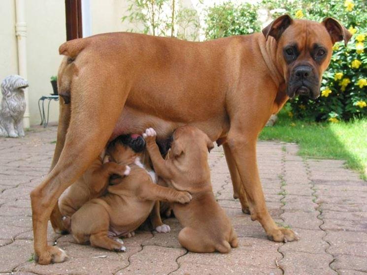 Femmina di boxer con cuccioli