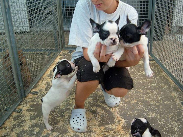 Cuccioli di boxer francese