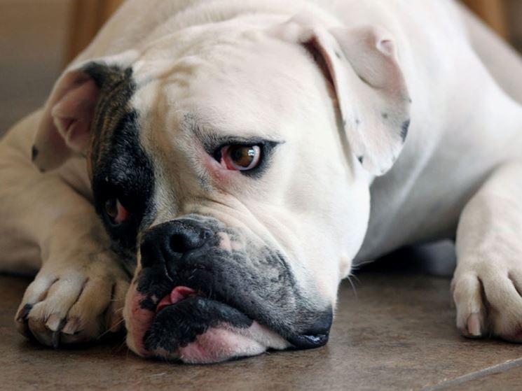 il bulldog americano