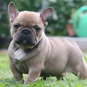 bulldog francese carattere