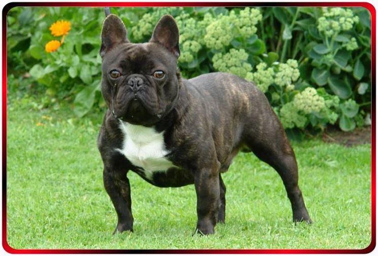 Esemplare di bulldog francese