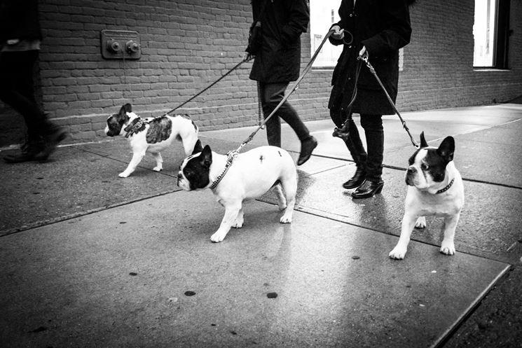 Il bulldog francese ama le passeggiate con il padrone