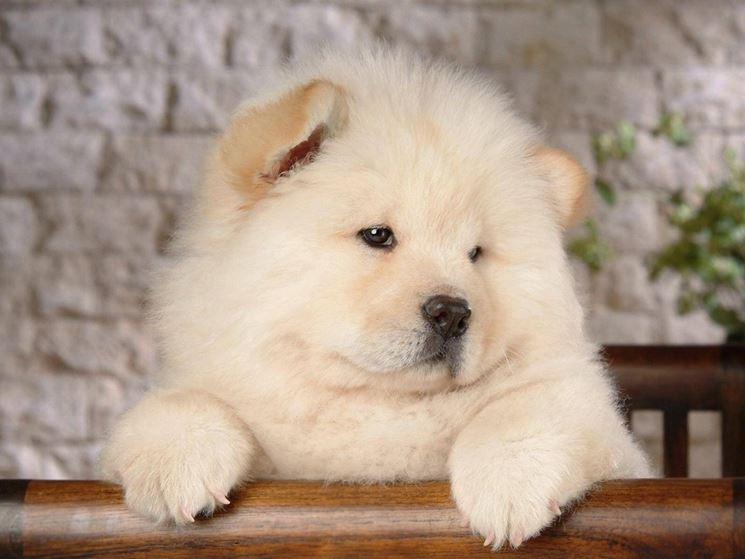 cucciolo di Chow Chow dal pelo bianco