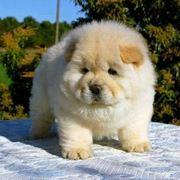 Cucciolo di chow chow bianco