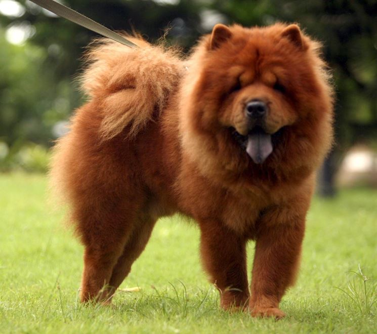 Chow chow adulto
