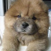 cane chow chow