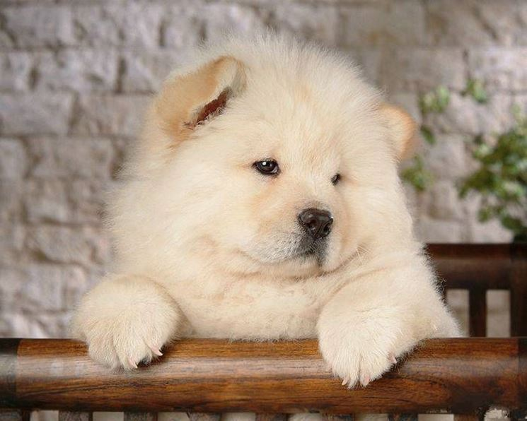 Un cucciolo di chow chow