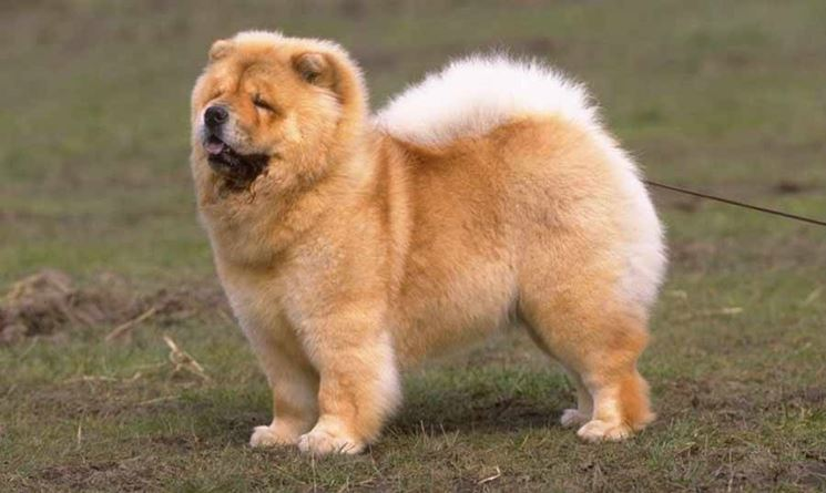 un chow chow in posa