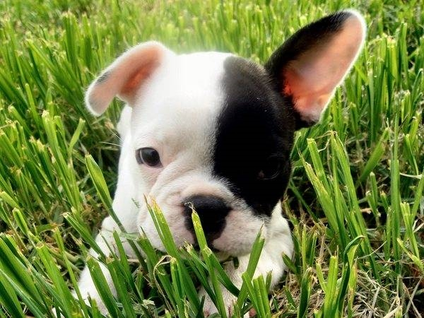 Cuccioli Bulldog Francese Cani Taglia Media Caratteristiche Dei