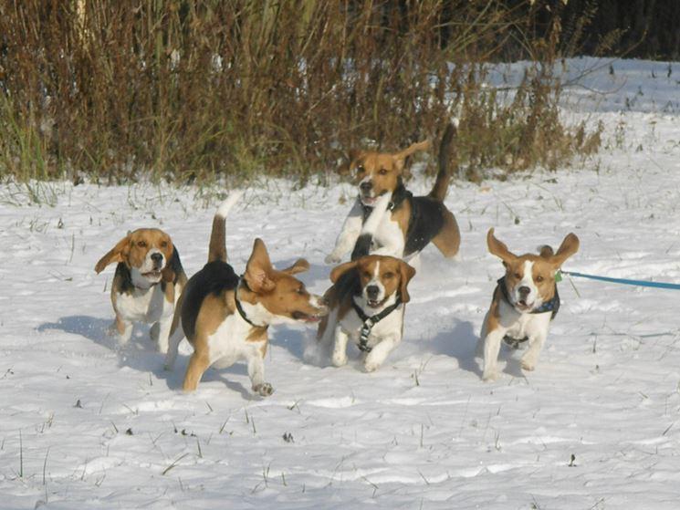 Beagle sulla neve