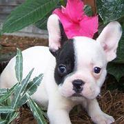 Bulldog francese cucciolo