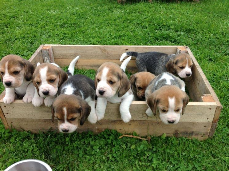 Cucciolata di beagle