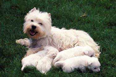White terrier e i suoi cuccioli