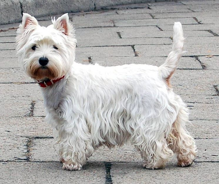 Il West Highland White Terrier