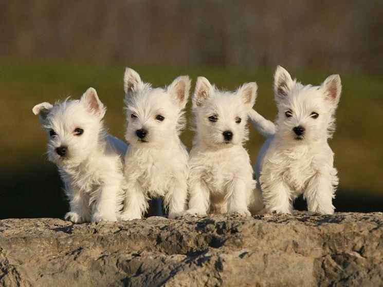 Cuccioli di White Terrier