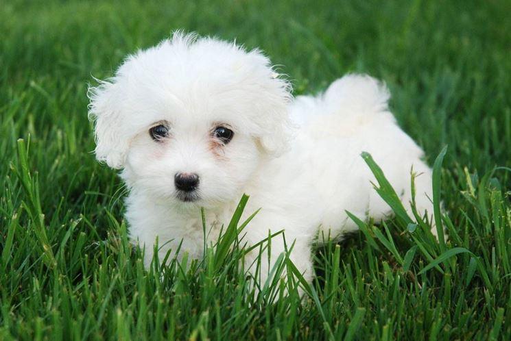 cucciolo di barboncino toy