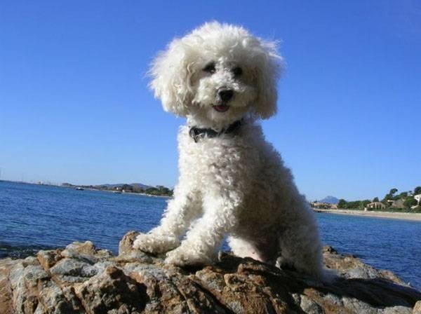 Allevamento barboncino toy cani taglia mini allevare for Carattere barboncino