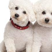 Cucciolo di barboncino bianco