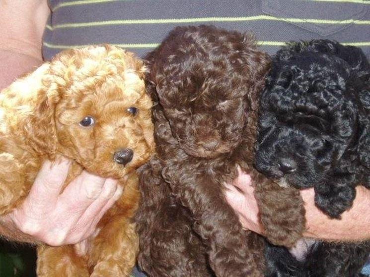 Barboncino nano cani taglia mini barboncino nano for Carattere barboncino