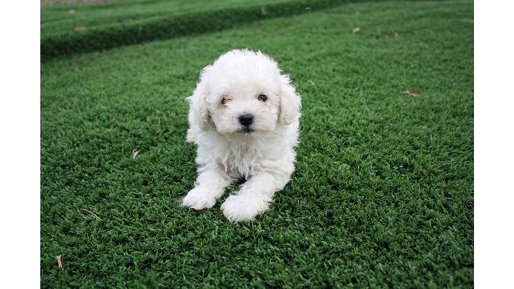 Barboncino toy - Cani Taglia Mini - Scopriamo il ...