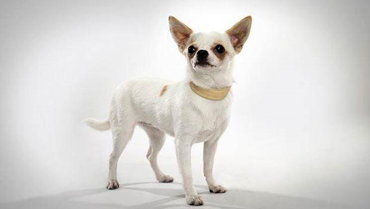 Profilo di un chihuahua: orecchio, occhio, musetto e testolina