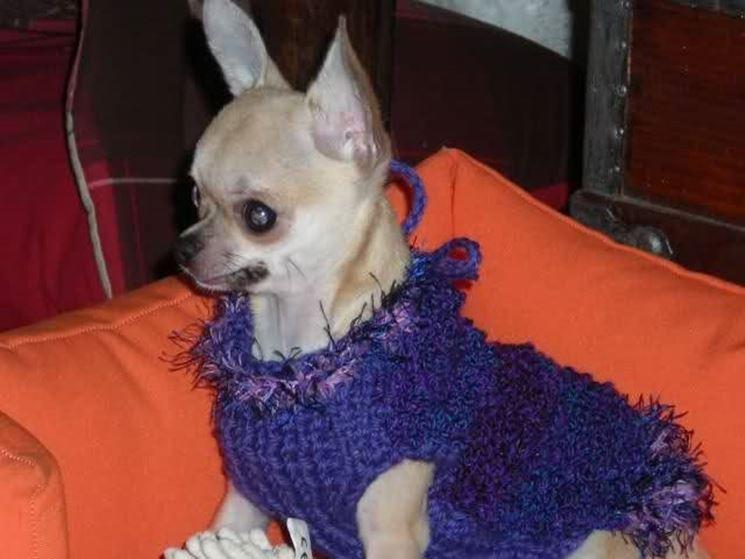 Chihuahua freddoloso nel suo maglioncino.