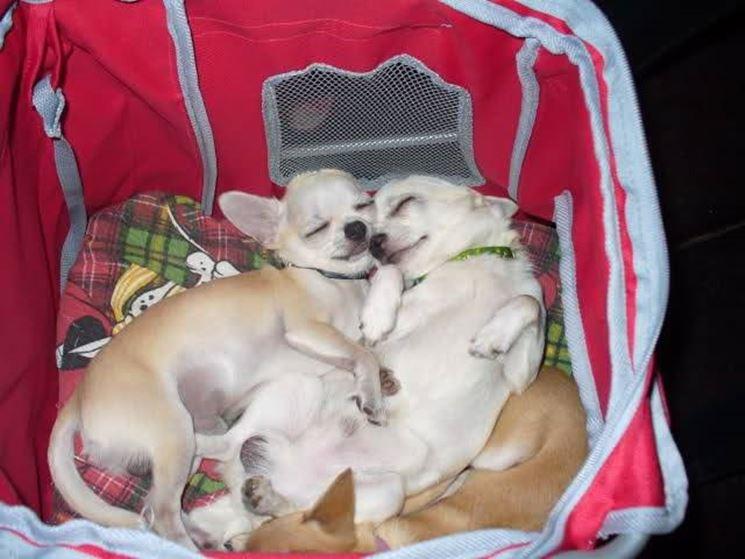 Due adorabili chihuahua dormono abbracciati