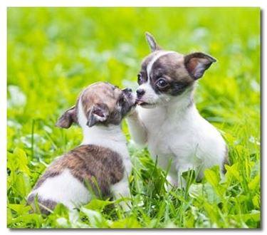 cuccioli di chihuahua che giocano