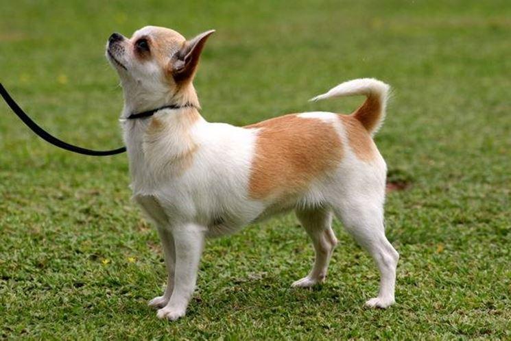 Chihuahua a pelo corto