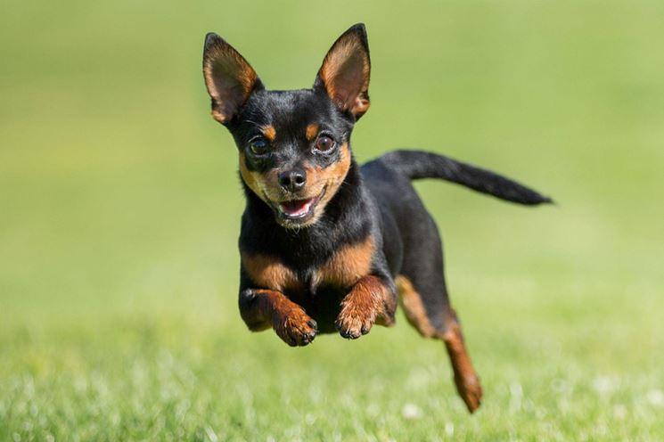 Chihuahua in salute