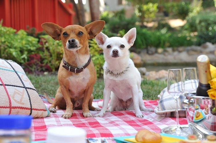 coppia di Chihuahua veri