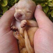 chihuahua appena nati