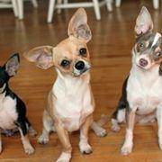 Tre esemplari di chihuahua messicano adulto.