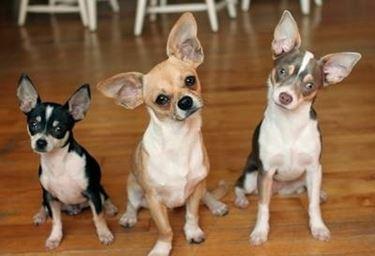 Tre esemplari di <em>chihuahua messicano</em> adulto.