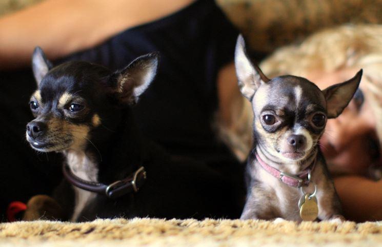 Innanzitutto, Evitiamo Di Farci Contagiare Da Mode A Dirla Tutta Un Pou0027  Malsane: Il Chihuahua è Già Di Per Sé Un Cane Piccolissimo, Volerne Uno Più  ...